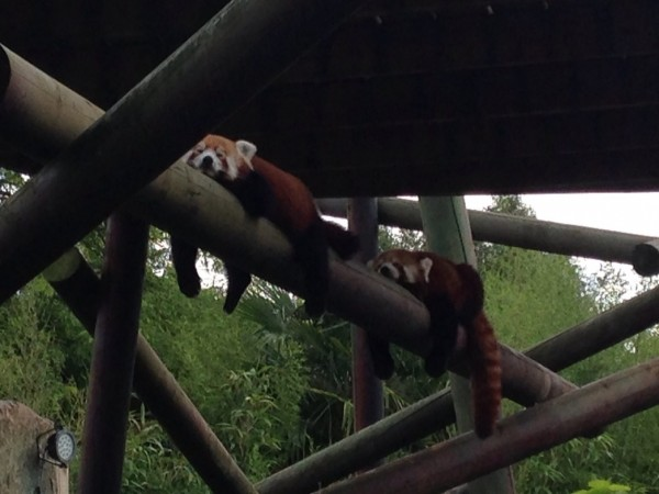 Red pandas sleeping on a beam.
