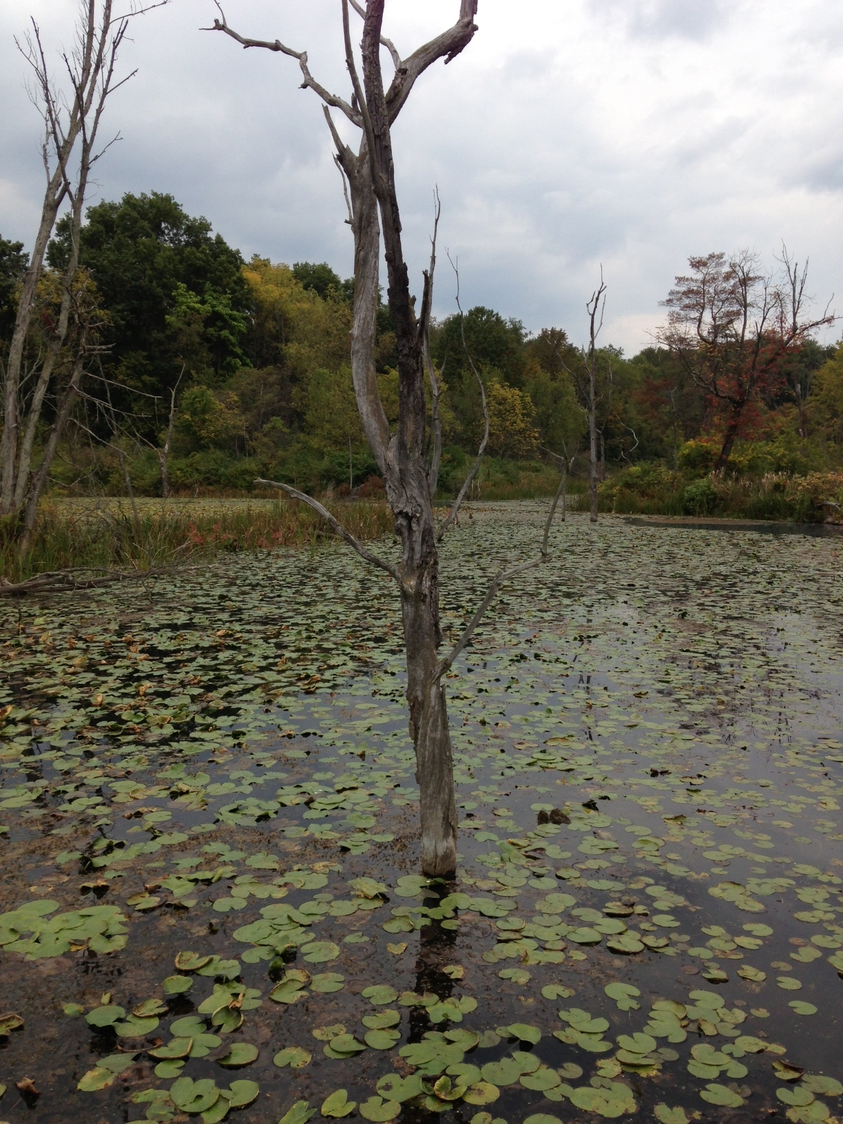 Dead tree emerging from lilypad dotted water, with forest and gray sky in the background.