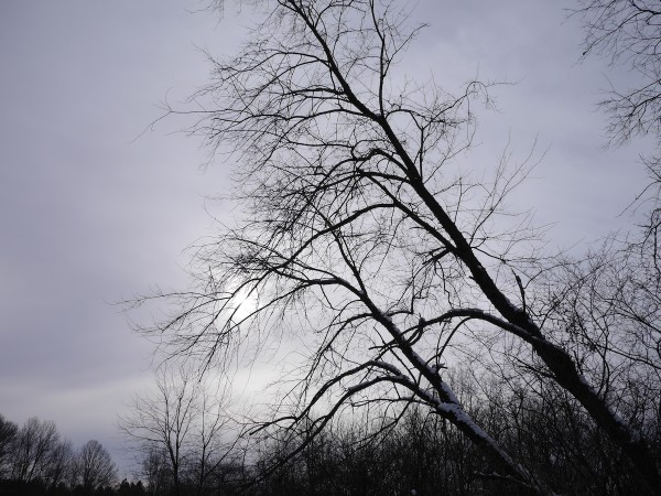 Bare trees against a grey winter's day. Photo: Chris Rowan, 2013.