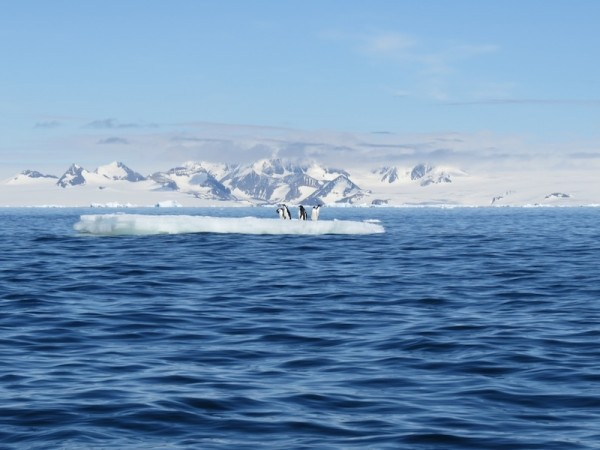 Adelie penguins on a bit of pack ice in the Antarctic Sound. Photo by A. Jefferson, December 2013.