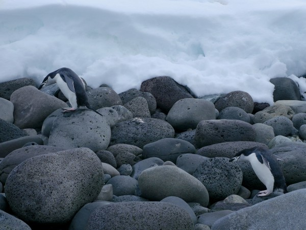 Chinstrap Penguins negotiating the basalt boulders on the shores of Penguin Island.