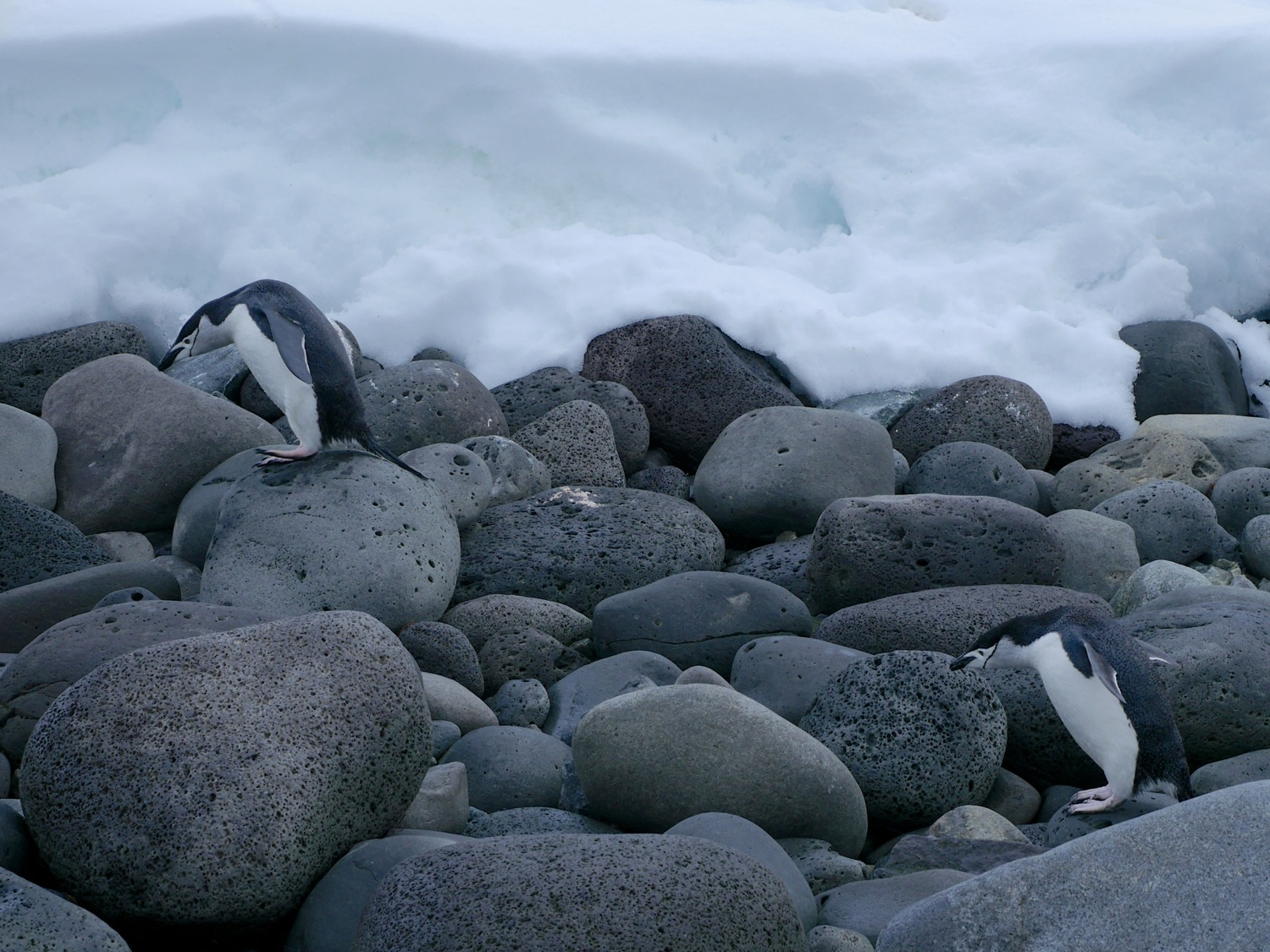 Chinstrap Penguins negotiating the basalt boulders on the shores of Penguin Island. Photo: Chris Rowan, 2013.