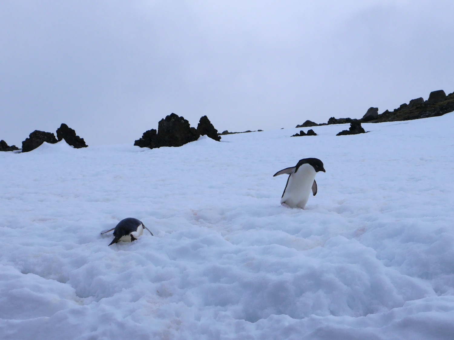 Adelie Penguins playing in the snow, Penguin Island. Photo: Chris Rowan, 2013.