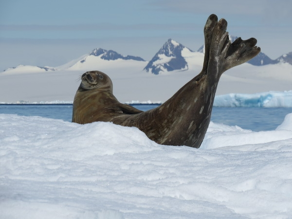 A Weddell seal shows off near Joinville Island, 22 December 2013. Photo by A. Jefferson.