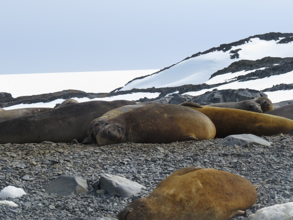 Elephant seals near Palmer Station. Photo by A. Jefferson.