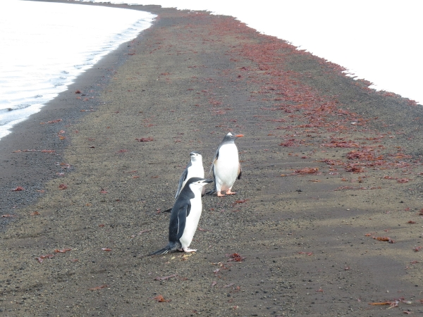 Our welcoming committee at Telefon Bay consisted of Gentoo and Chinstrap penguins, a Weddell seal (not pictured), and some beautiful red kelp(?). Photo by A. Jefferson.