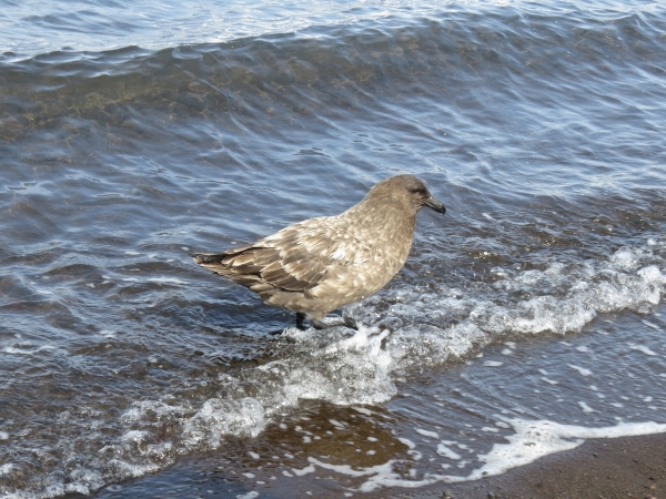 A skua bathing in the waters of Port Foster. Photo by A. Jefferson.