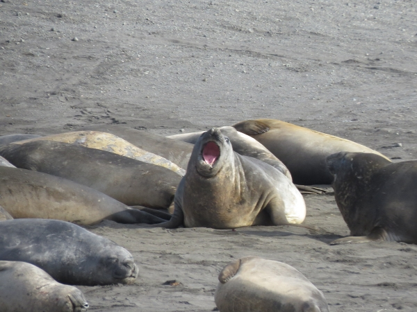 Elephant seals resting and bellowing. Photo by A. Jefferson.