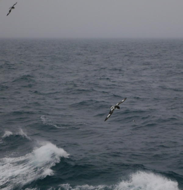 Storm Petrels above the stormy seas of the Drake.