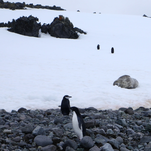Weddell Seal with Adele and Chinstrap penguins for scale