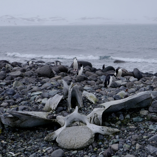 Whale bones on Penguin Island.