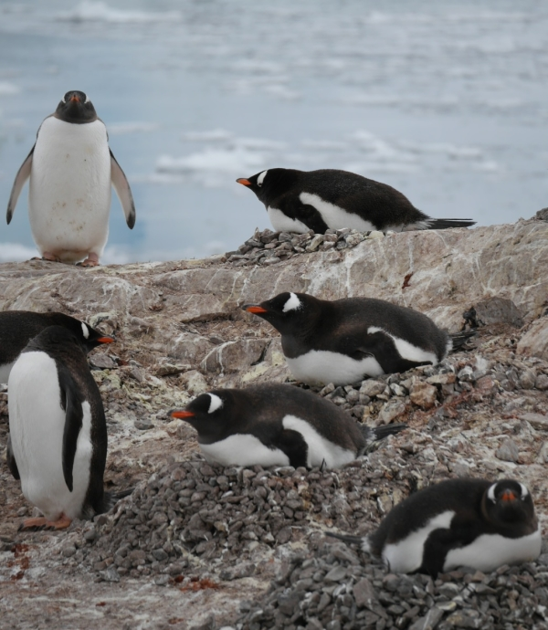 Gentoo penguins on pebble nests at Neko Harbour, Antarctic Peninsula. Photo: Chris Rowan, 2013.
