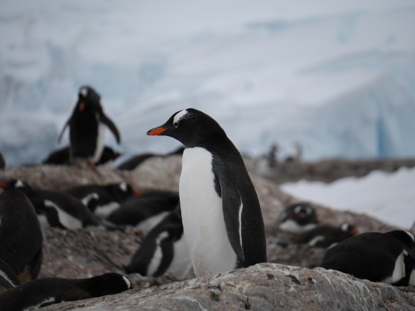 Gentoo penguin at Neko Harbour, Antarctic Peninsula.