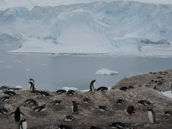 The Gentoo Penguin colony at Neko Harbour.