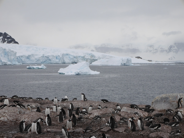 Gentoo colony on Cuverville Island