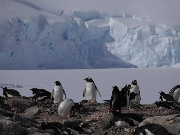 Gentoo Penguins at Jougla Point, Antarctica.