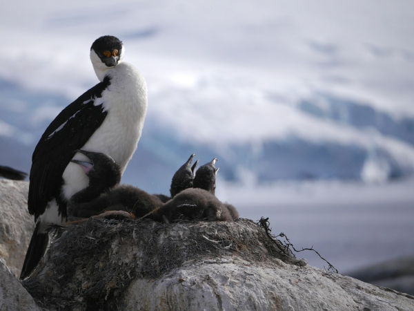 A blue-eyed or Antarctic shag guards her three chicks