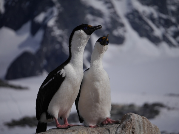A pair of canoodling Antarctic shags.