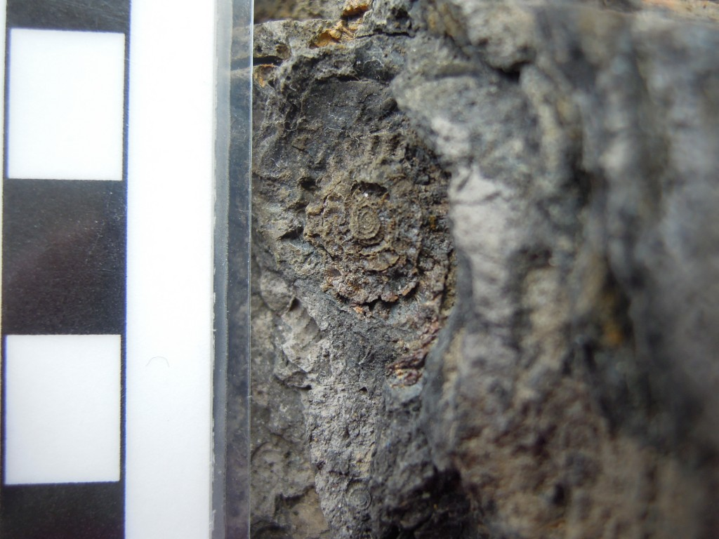 Carboniferous goniatite from marine band